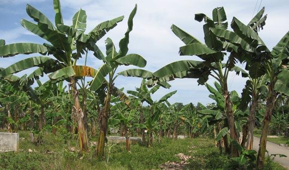 Banana06