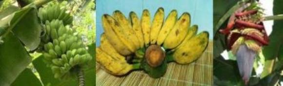 cardava fruit and bud