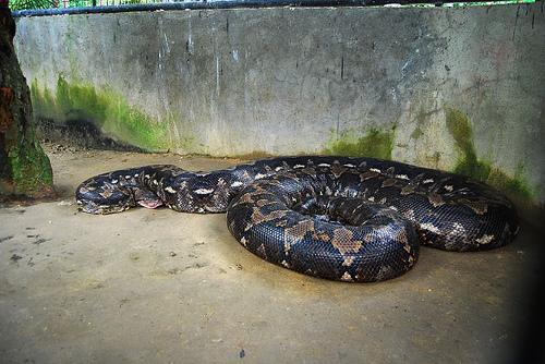 prony bohol python