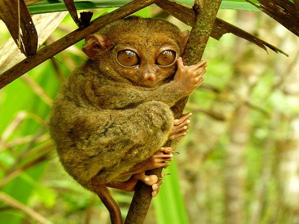 Image result for tarsier in bohol
